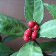 センリョウ(千両)の赤い実