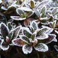 サツキの霜アート