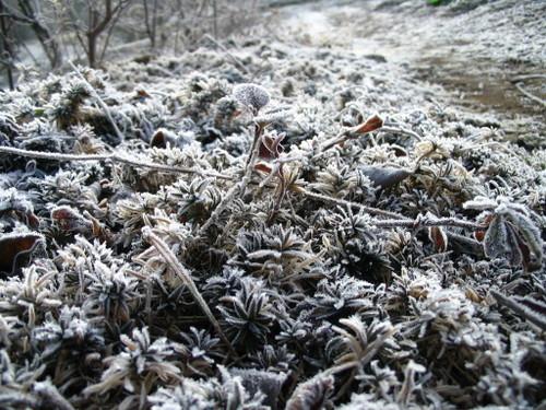 シバザクラの霜アート