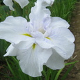 八重咲きの花菖蒲