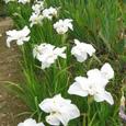 八重の花菖蒲