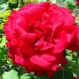赤大輪のバラ