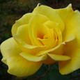 黄色いバラ、11月