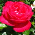 大輪のピンクの薔薇