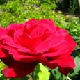 大輪の真っ赤な薔薇