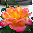 黄色と赤のバラ