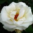 白いバラ(大輪)