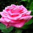 ピンクの小型種