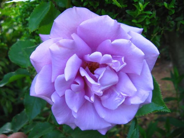 紫の大きなバラ