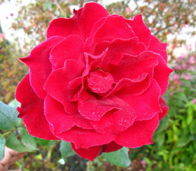 秋の赤い薔薇
