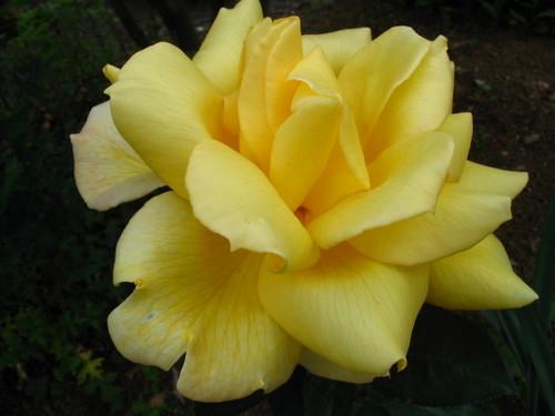 黄色の大輪バラ