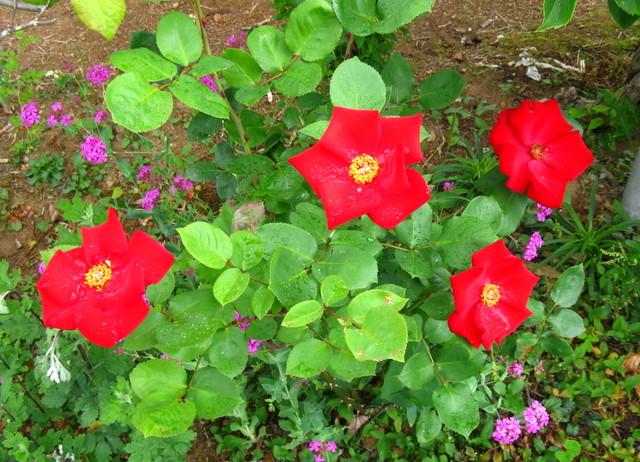 一重大輪の薔薇