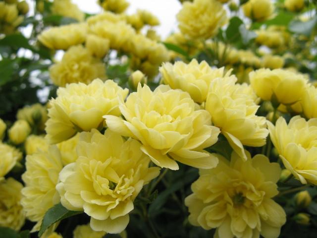 モッコウバラ(木香薔薇)