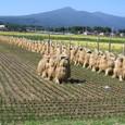 稲の自然乾燥