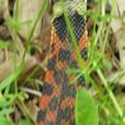 ヤマカガシ(毒蛇)