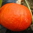赤いかぼちゃ