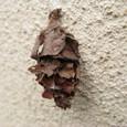 冬篭りの蓑虫(ミノムシ)