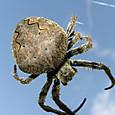 オニグモ(鬼蜘蛛)のメス