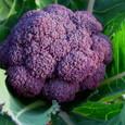 ブロッコリー・紫