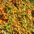 長芋葉の紅葉