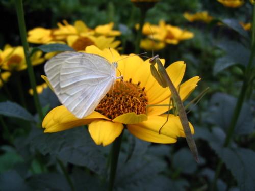 紋白蝶と蟷螂
