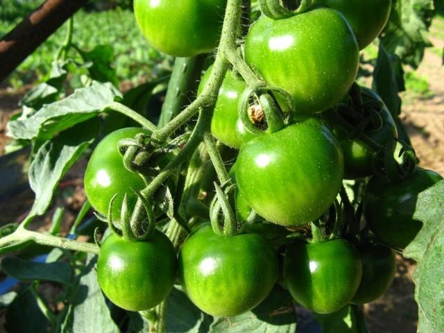 緑のミニトマト