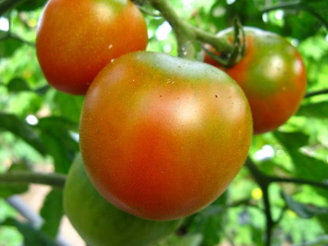 中玉・トマト
