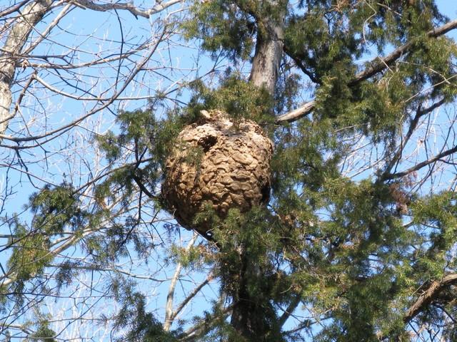 黄色スズメバチの巨大巣