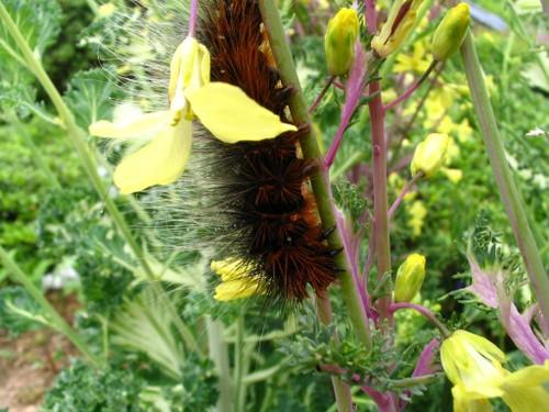 葉牡丹の花と毛虫