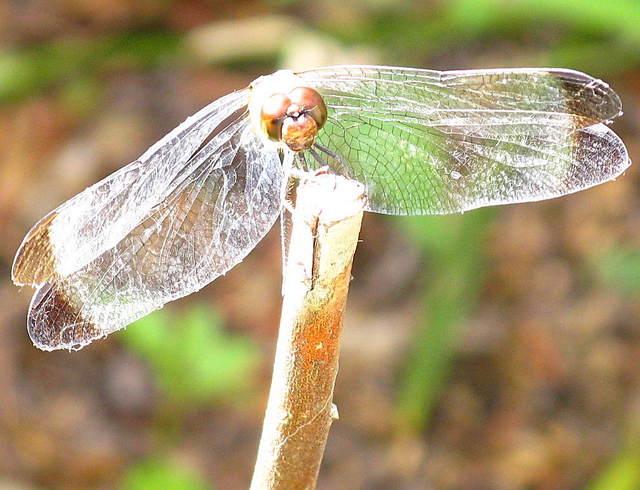 マユタテアカネの雌