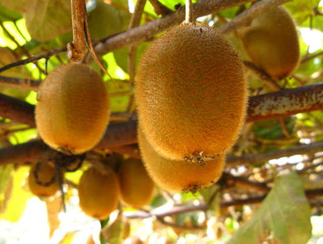 キウイフルーツ(木天蓼)