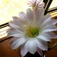 サボテンの花・1