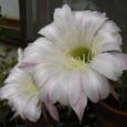サボテンの花・2