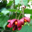 ツリバナ(吊り花)の結実