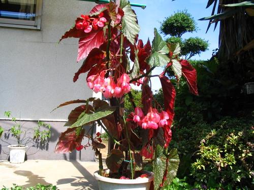 フイリキダチベゴニア(斑入り木立ベゴニア)