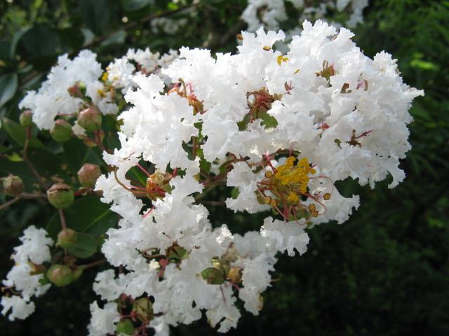 シロバナサルスベリ(白花百日紅)
