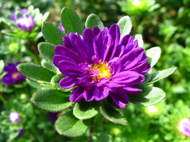 アスター・紫