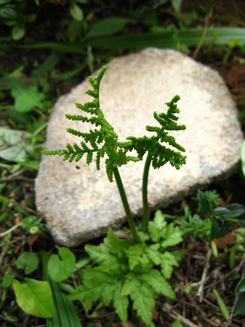 フユノハナワラビ(冬の花蕨)