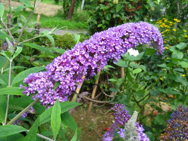 フサフジウツギ(房藤空木)薄紫