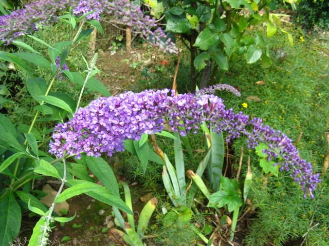 フサフジウツギ(房藤空木)の薄紫