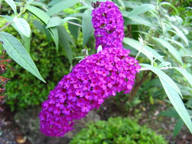 フサフジウツギ(房藤空木)濃い紫