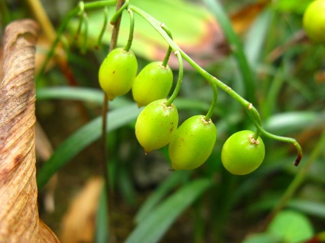 スズラン(鈴蘭)の果実