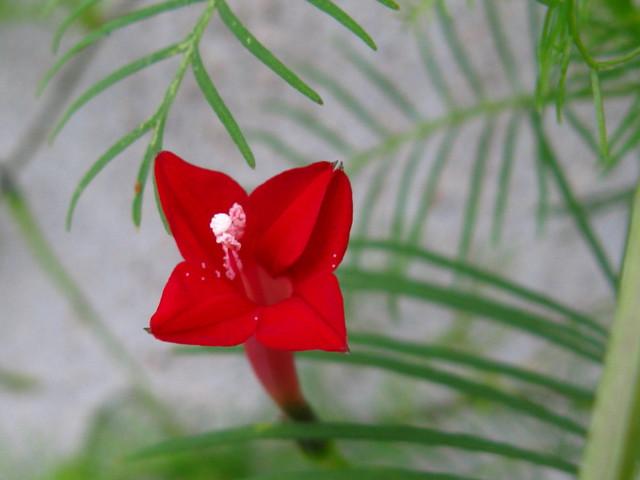 ルコウソウ(縷紅草)