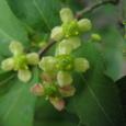 ニシキギ(錦木)の花