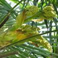 ワジュロ(和棕櫚)の雌木