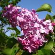 ライラック(紫丁香花)