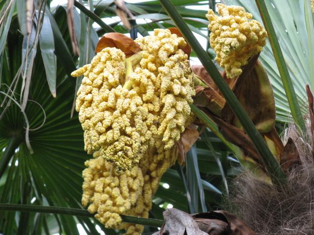 トウシュロ(唐棕櫚)の雄木