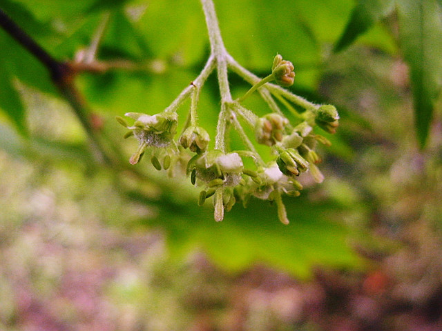 カエデ(楓)の花