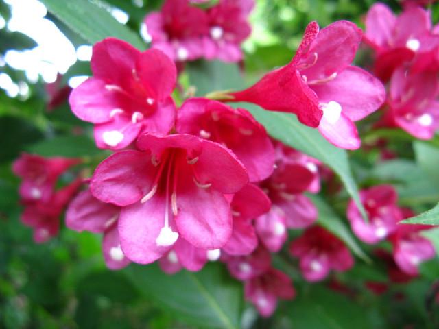 オオベニウツギ(大紅空木)
