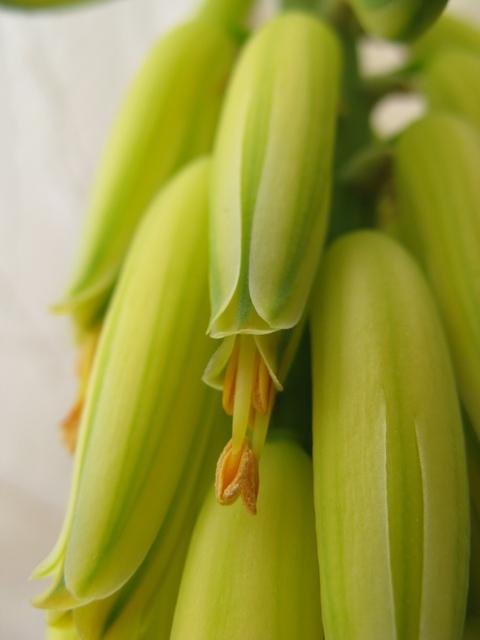 アロエベラの花・1